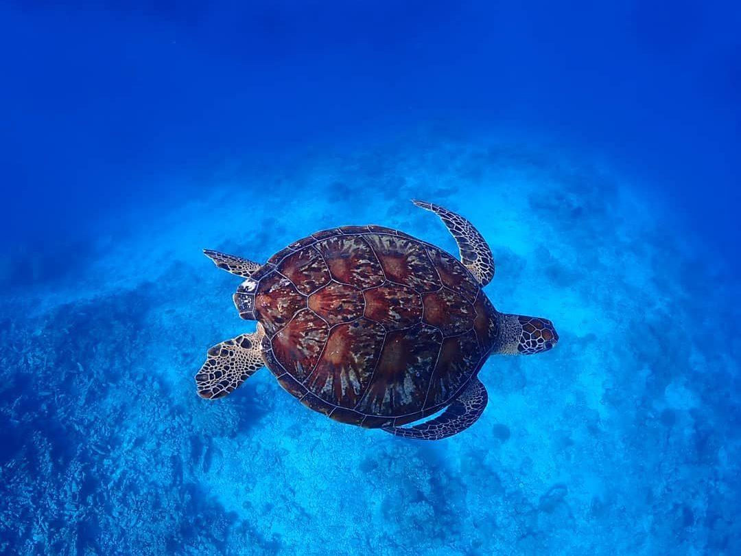 宮古島ダイビングで会えるウミガメ