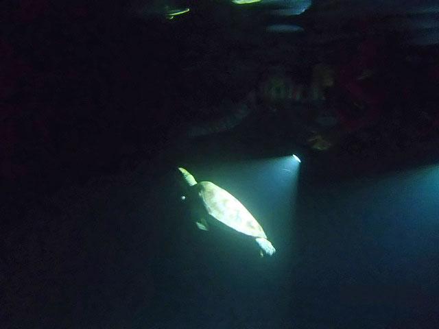 闇夜に浮かぶウミガメ