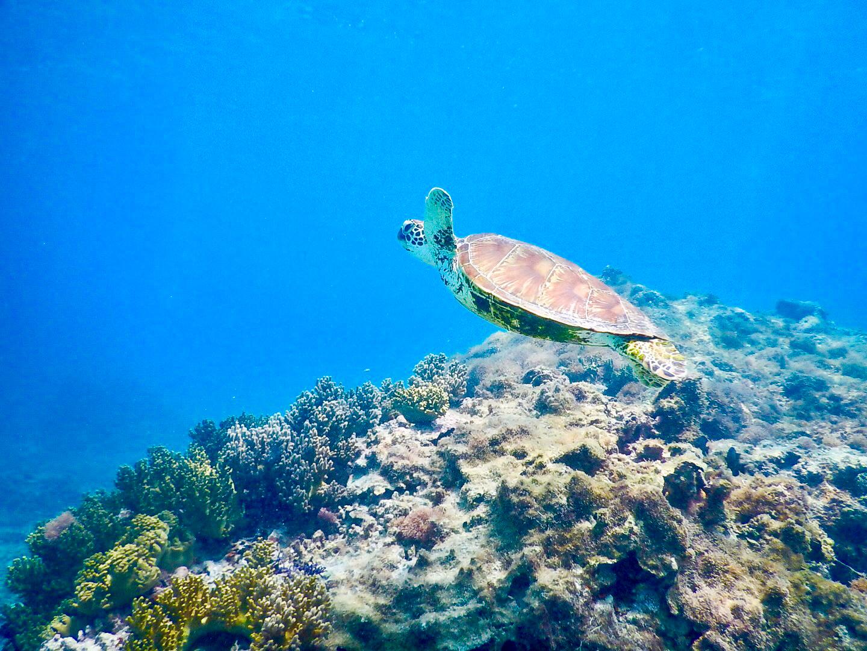 ベストシーズンの海でウミガメを鑑賞
