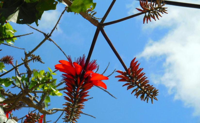 4月の宮古島で咲くデイゴの花