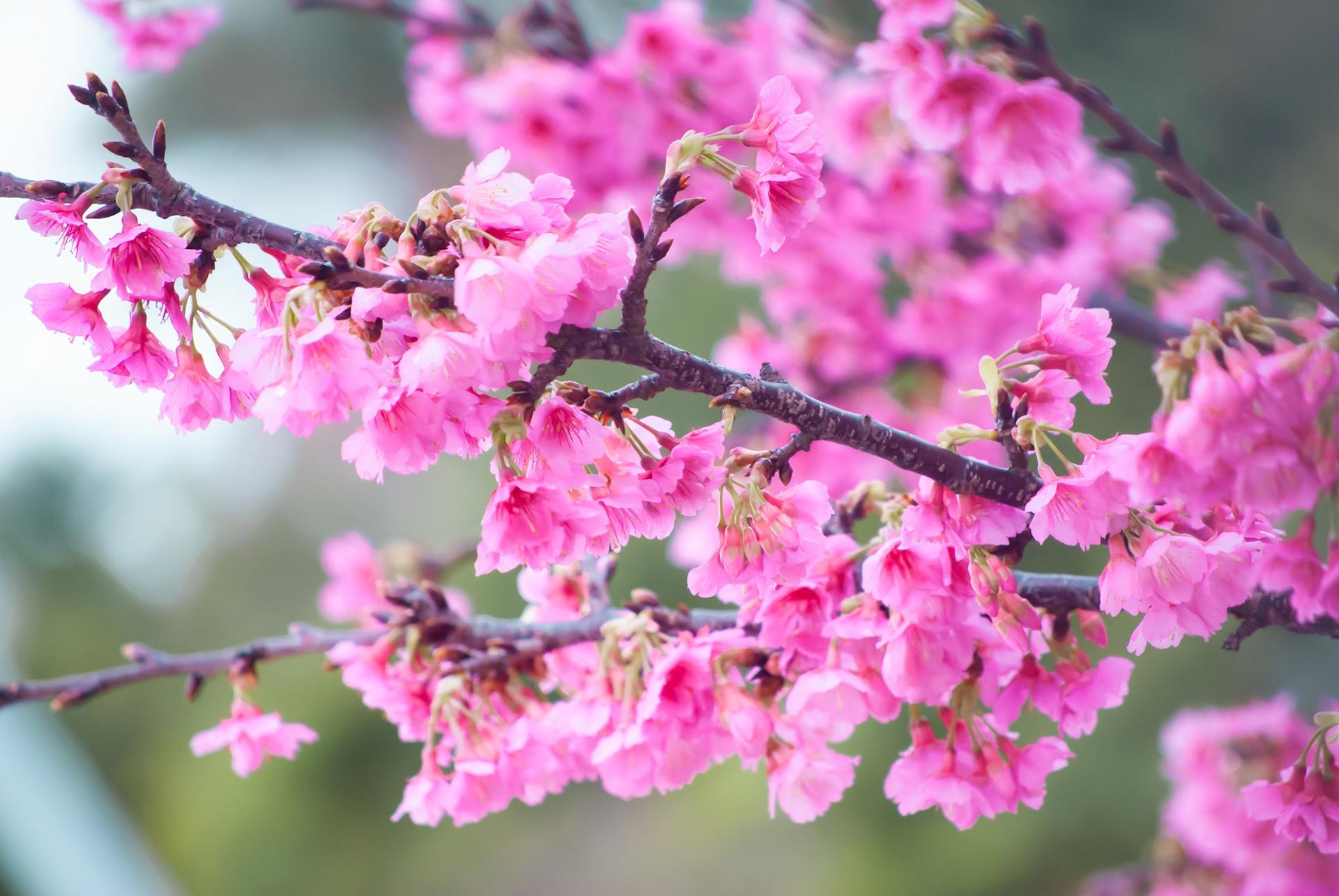 宮古島の冬の寒緋桜