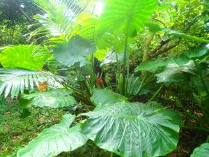 宮古島の植物のクワズイモ