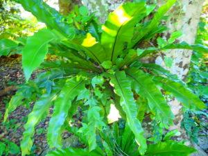 宮古島の植物のオオタニワタリ