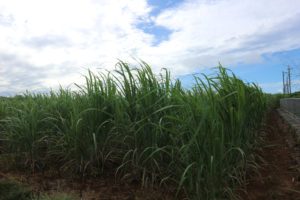 宮古島の植物のサトウキビ