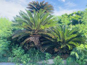 宮古島の植物のソテツ