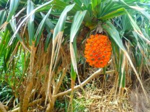 宮古島の植物のアダン