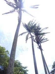宮古島の植物のヤシの木