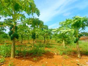 宮古島の植物のシマパパイヤ