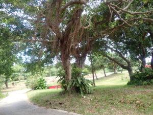 宮古島の植物のガジュマル